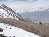 Фото из тура в Непал в 2011 году. Верховые лошади пасутся на альпийском лугу на спуске с Торунг-ла в сторону Муктинатха