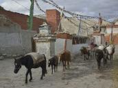 Фото из тура в Непал в 2012 году. Лоба обожают птиц и вообще все живое. Голуби и воробьи едят из человеческих рук. Строгий запрет, наложенный буддизмом, свято соблюдается, поэтому многие животные, которые у нас на Западе считаются дикими, здесь приручены. По миграции птиц жители Мустанга определяют смену времен года; чтобы узнать, какой сейчас месяц, достаточно взглянуть, какие птицы кружатся в небе. Погонщики редко когда ударят мула или яка. А ударить лошадь — такое лоба и представить себе не может. Гармон