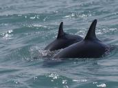 Фото из тура в Новую Зеландию в 2010 году. Снорклинг с дымчатыми дельфинами в Кайкуре. Новая Зеландия.