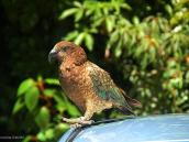 Фото из тура в Новую Зеландию в 2011 году. Красавец-попугай кеа, Новая Зеландия.