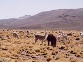 Фото из тура в Перу в 2004 году. Стадо лам и альпак пасется в пуне - высокогорном пастбище.