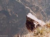 Фото из тура в Перу в 2004 году. Кондор парит над каньоном в восходящих утром потоках воздуха.