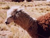 Фото из тура в Перу в 2004 году. Это альпака