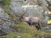 Фото из тура в Швейцарию в 2004 году. Реальный горный козел.