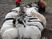 Фото из тура Непал-Тибет в 2004 году. Дойка коз в полевых условиях Тибета