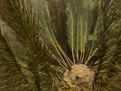 Фото из тура в ЮАР в 2013 году.  То ли пальма, то ли папоротник.