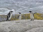 Фото из тура в ЮАР в 2013 году. Потягушки-потягушки от носочков до макушки! Можно насмотреться на этих пингвинов вплотную и в самом Кейптауне в прекрасном здании аквариума, но там стоит весьма крепкий птичий запах, несмотря на оборудование. А на открытом пляже все-таки посвежее ))