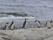 """Фото из тура в ЮАР в 2013 году. Еще эти пингвины умеют громко кричать по-ослиному, как в """"Бременских музыкантах"""", поэтому их называют Jackass, но это в народе, а по-научному они известны как """"африканские"""" или """"черноногие"""" пингвины."""
