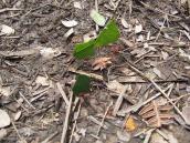 Фото из тура в Венесуэлу в феврале-марте 2012. Муравьи-листорезы тоже идут в поход.
