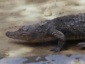 Крокодил вида Marsh Mugger ест все