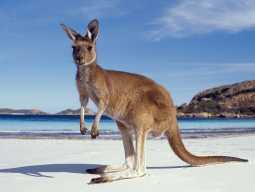 Тур в Австралию. Кенгуру на пляже.